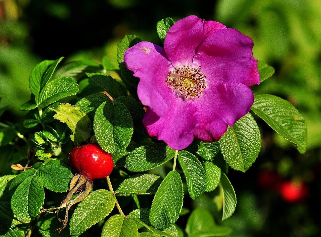 Hyben-rosa-rugosa