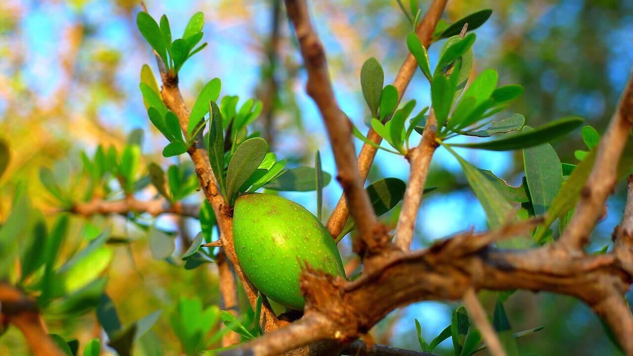 arganolie-træ
